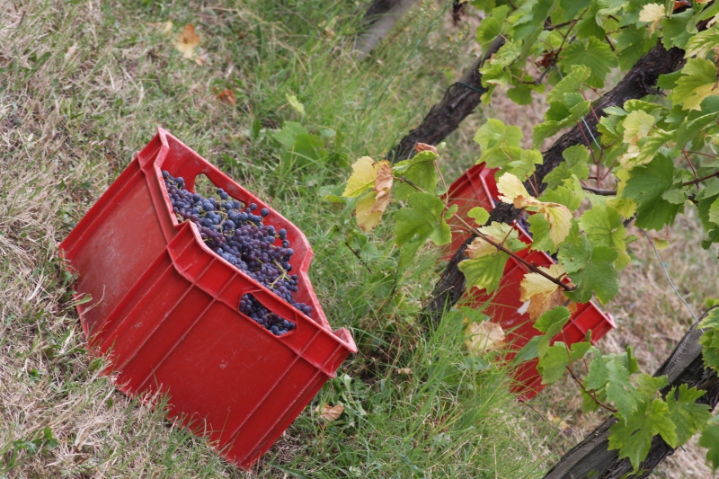 Grape Harvest 2016 - 17