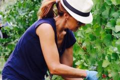 Grape Harvest 2016 - 12