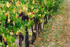 Grape Harvest 2016 - 16