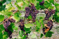 Grape Harvest 2016 - 2