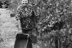 Grape Harvest 2016 - 5