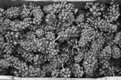 Grape Harvest 2016 - 7